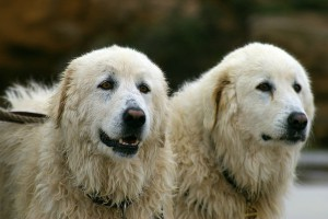 Maremma dogs Tula and Eudy who protect the Little Penguin population on Warrnambools middle island.